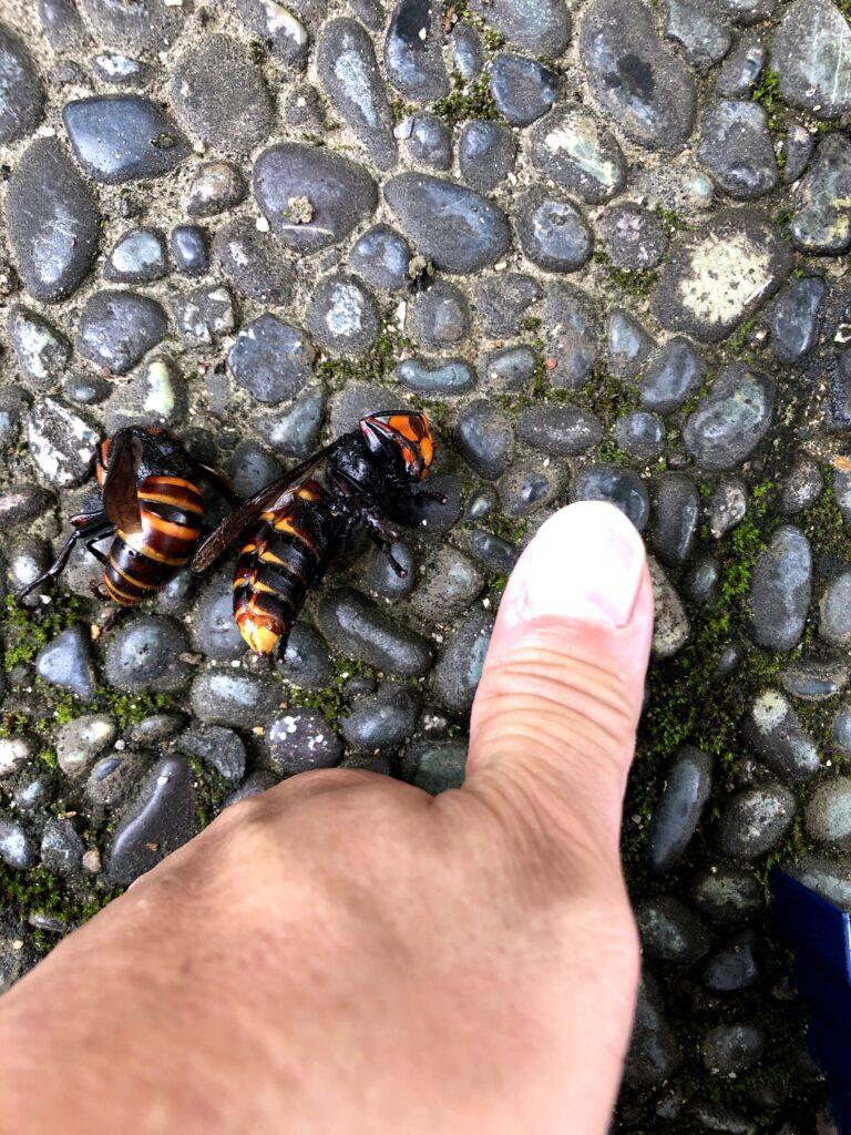 オオスズメバチと親指比較