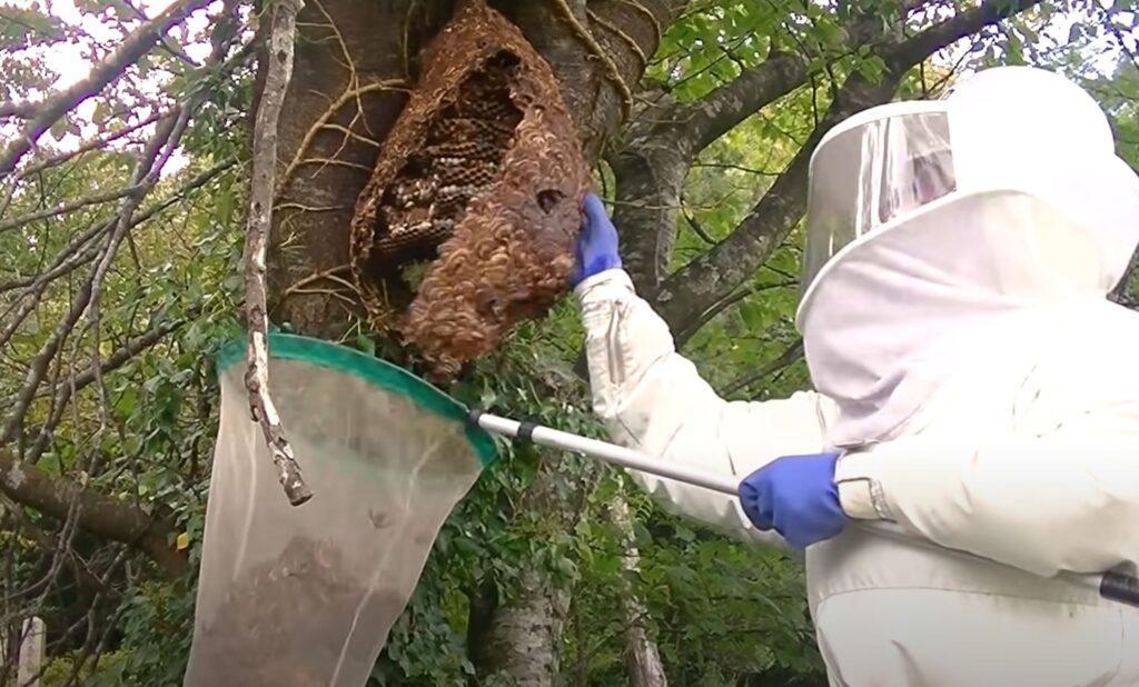 日野町でキイロスズメバチ駆除