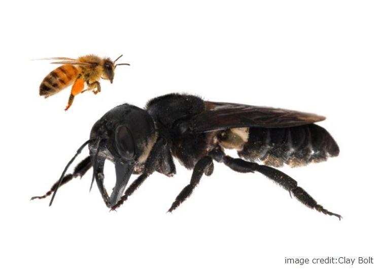 ウォレスの巨大バチ画像