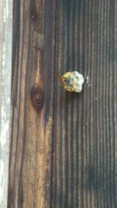 いなべ市アシナガバチの巣撤去