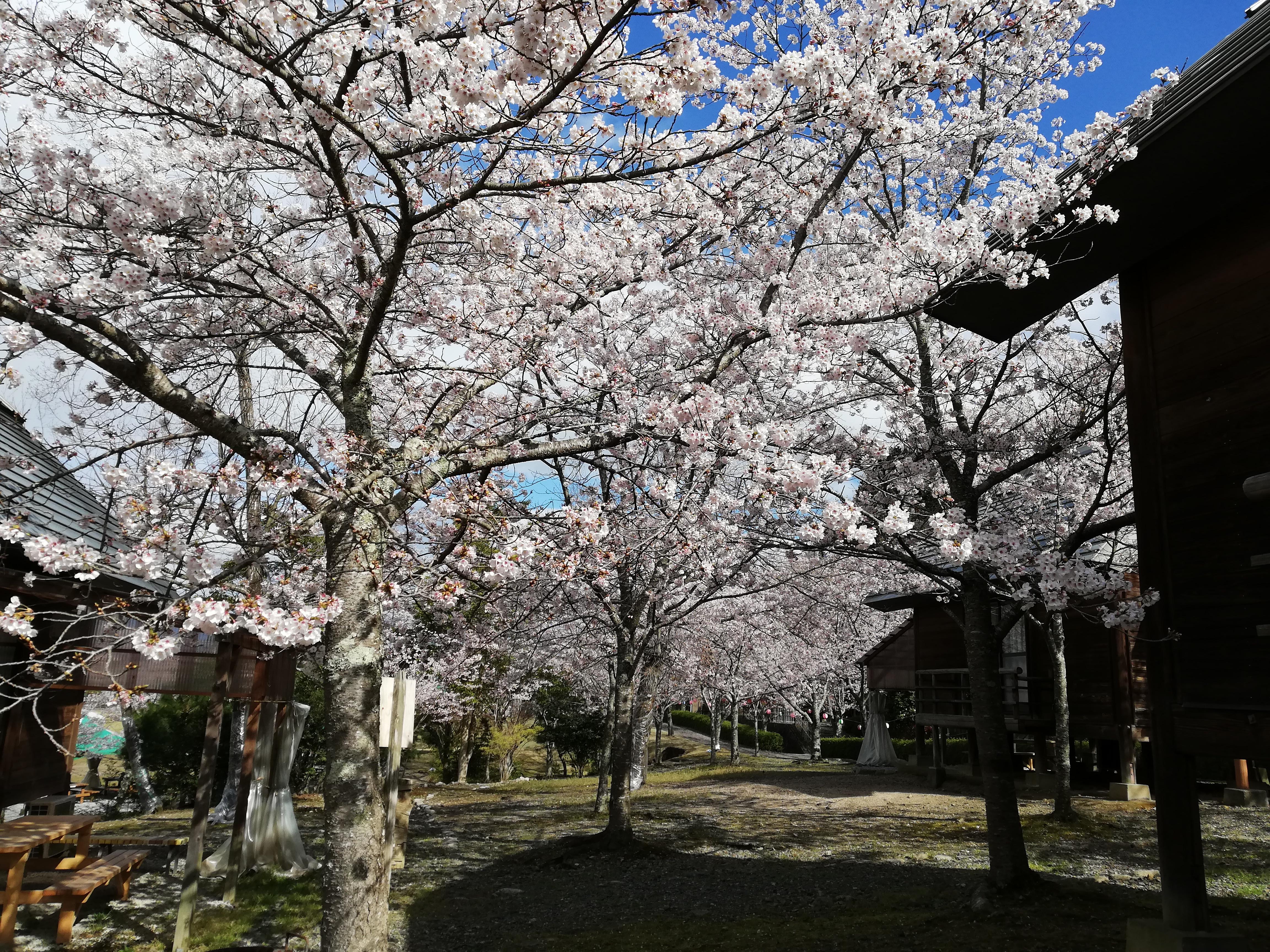2019妹背の里満開の桜