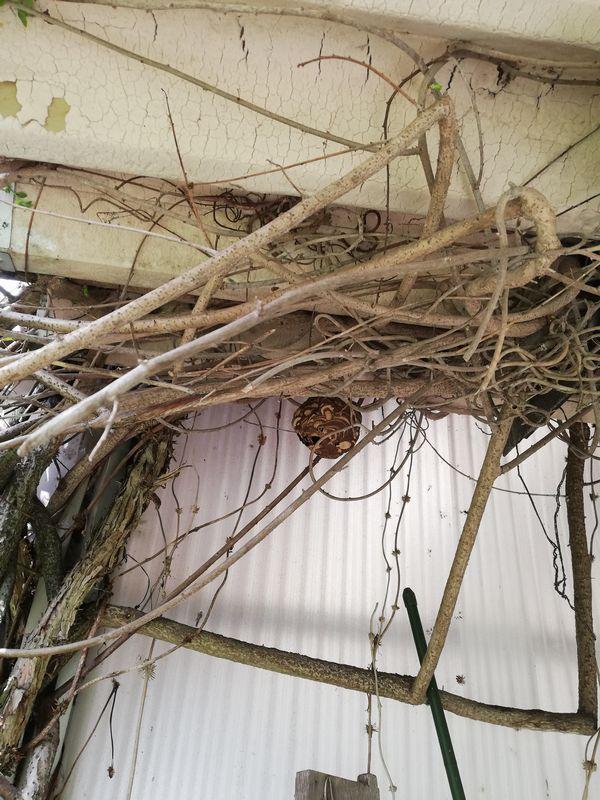 いなべ市空家の物置のコガタスズメ蜂の巣