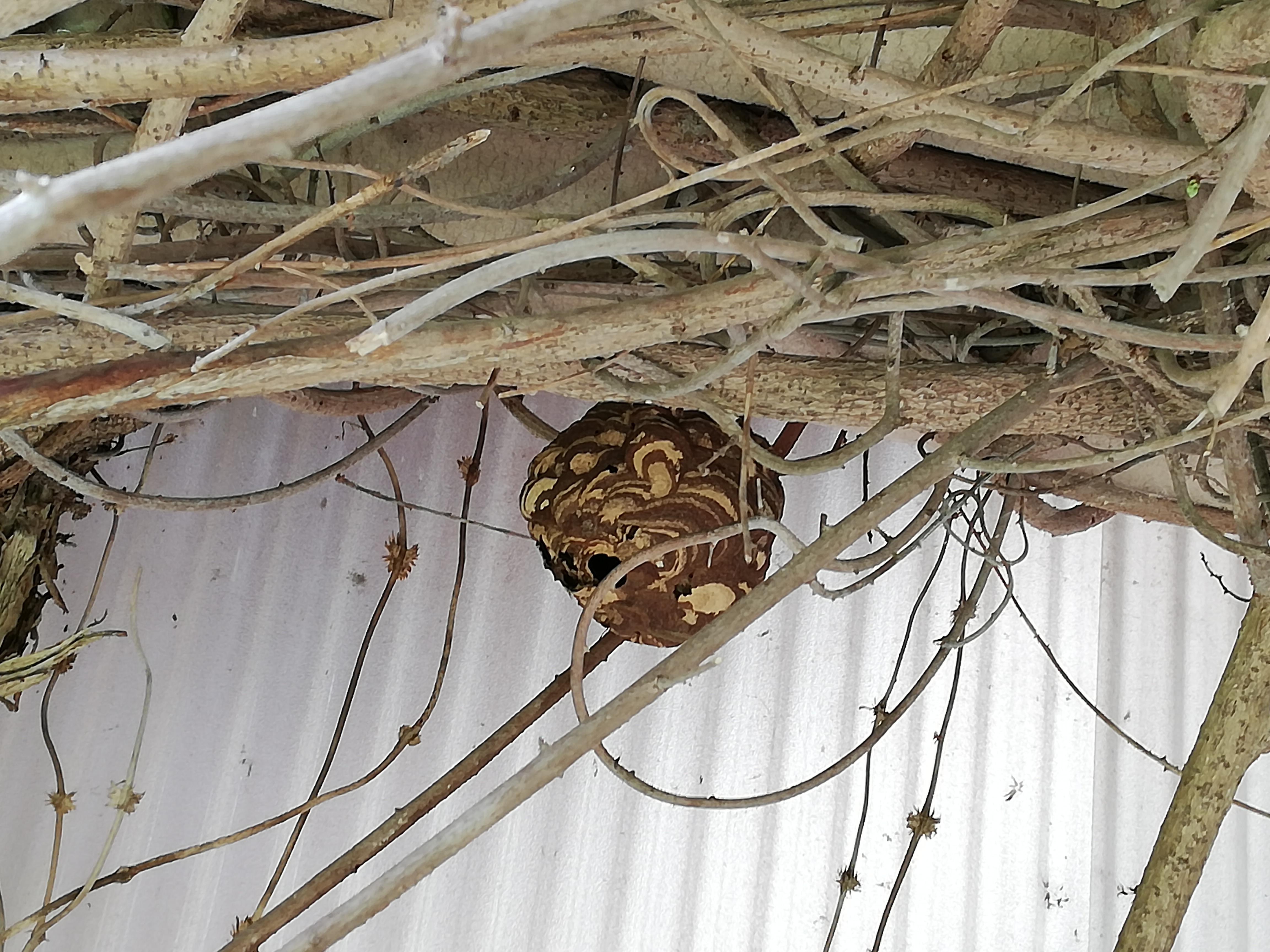 いなべ市のコガタスズメバチの巣