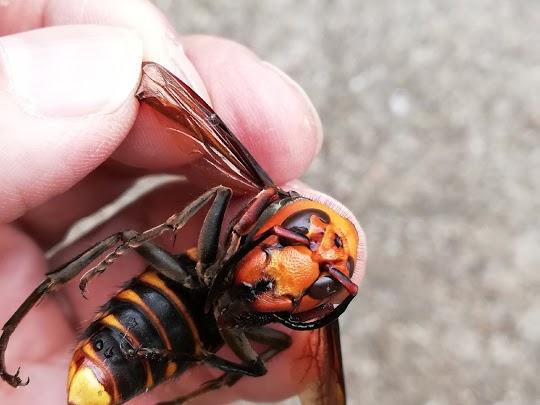 オオスズメバチを捕まえた画像