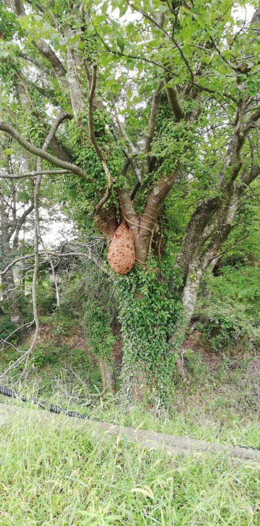 木の幹の大きなキイロスズメバチの巣